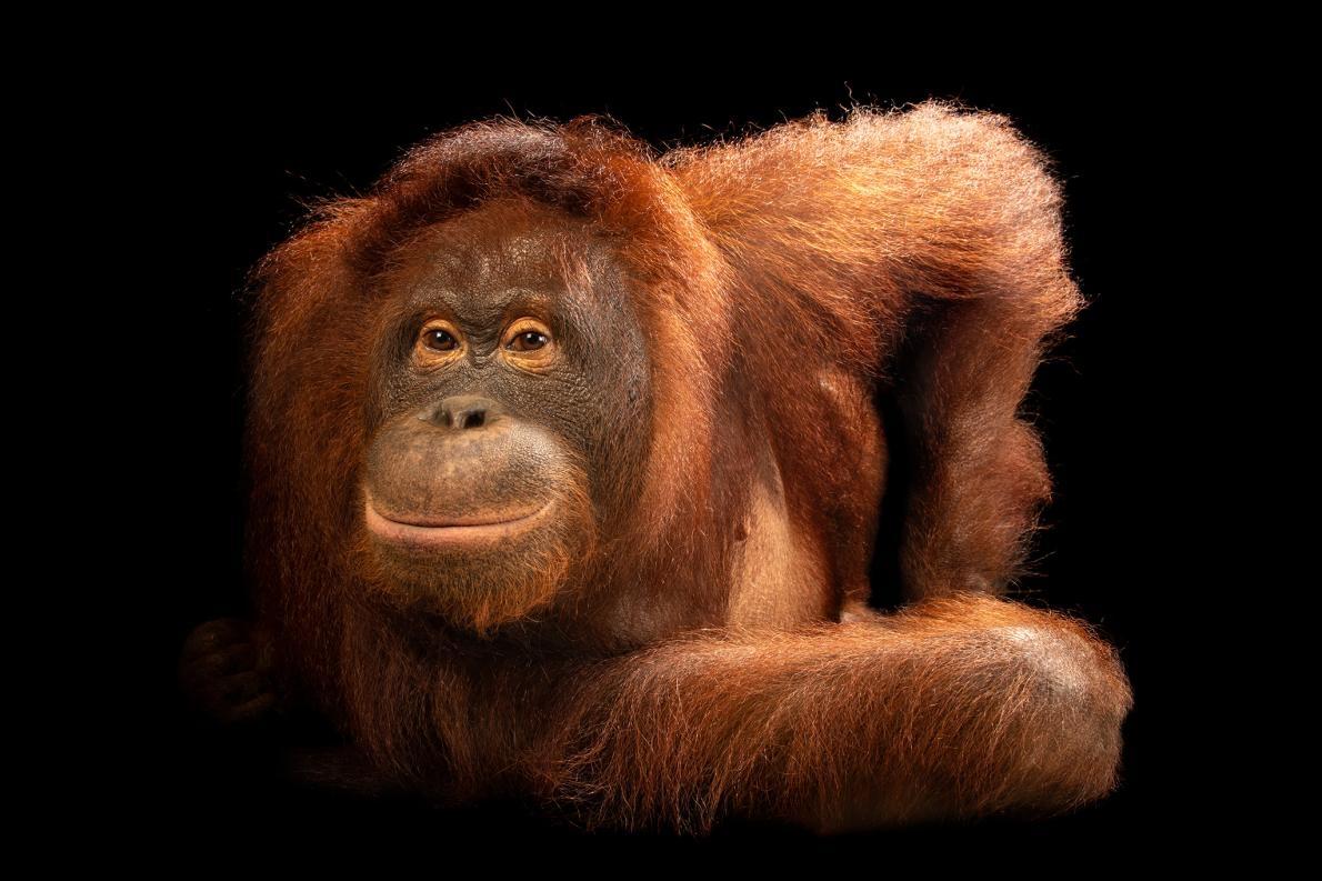 這是一隻中婆羅洲紅毛猩猩(central Bornean orangutan)。婆羅洲紅毛猩猩的數量在過去60年來已經少了超過一半,主要是因為人類入侵了牠們的棲地。PHOTOGRAPH BY JOEL SARTORE, NATIONAL GEOGRAPHIC PHOTO ARK