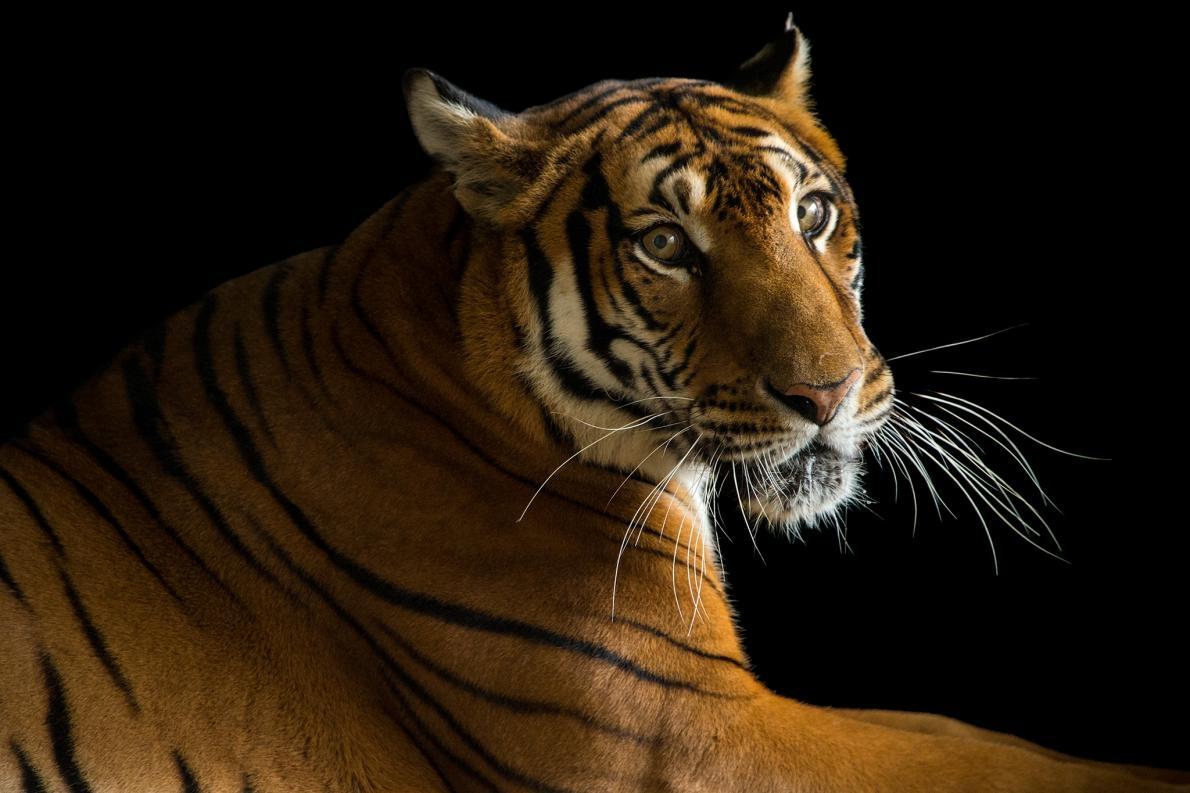 生活在中國蘇州動物園中、生態地位為極度瀕危的華南虎(South China tiger)。這是一個可能現在就會消失在野外的物種。因為在2015年時,圈養環境中的華南虎也只有100頭。PHOTOGRAPH BY JOEL SARTORE, NATIONAL GEOGRAPHIC PHOTO ARK