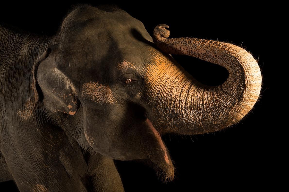 亞洲象是IUCN紅皮書中的瀕危物種,牠們面臨的威脅包括棲地喪失及盜獵。PHOTOGRAPH BY JOEL SARTORE, NATIONAL GEOGRAPHIC PHOTO ARK