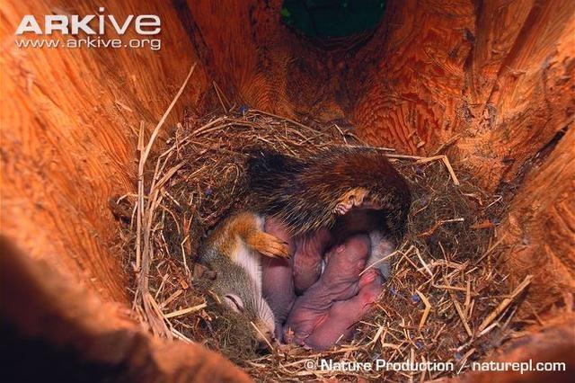 一窩北美紅松鼠小寶寶。圖:Arkive