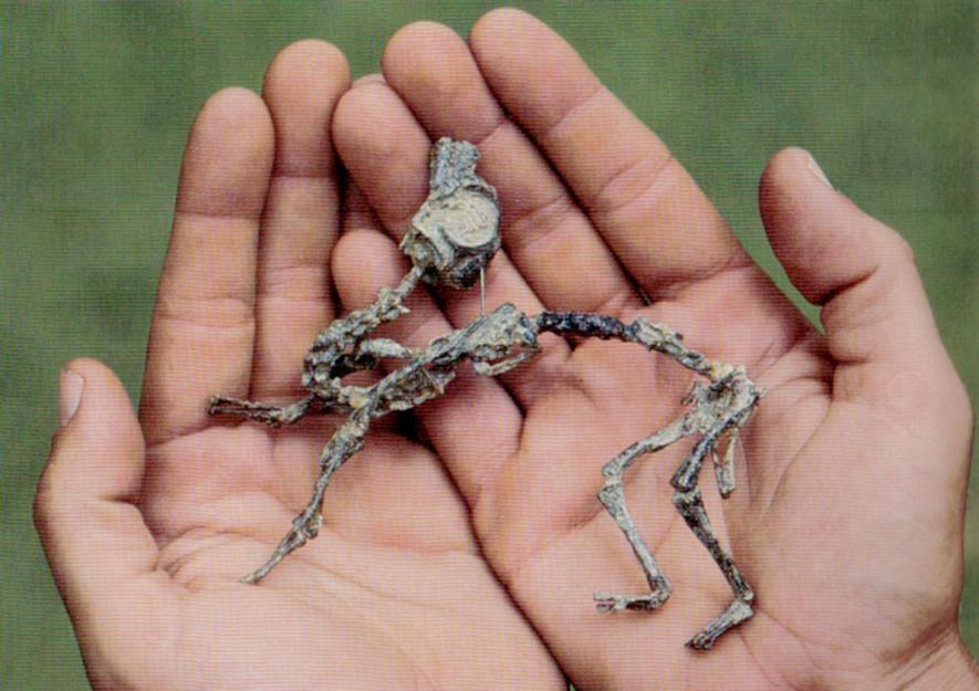 鼠龍寶寶小到可以放進人類掌心。PHOTOGRAPH BY J. BONAPARTE