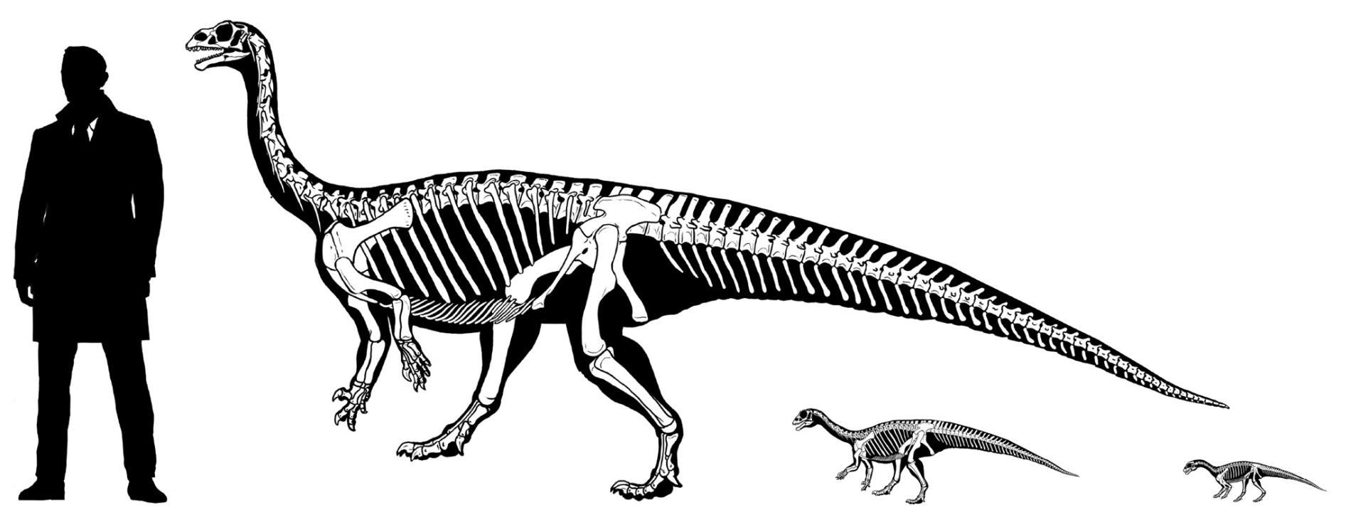鼠龍剛孵化的時候以四足行走。不過這種恐龍的身體質量中心會隨著生長而改變,牠的運動方式會變為雙腿步行。 ILLUSTRATION BY GONZÁLEZ