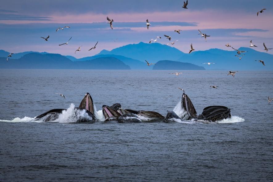 人們經常可以在阿拉斯加離岸不遠的海面,觀察並研究座頭鯨製造氣泡網的行為。PHOTOGRAPH BY BRIAN J. SKERRY, NATIONAL GEOGRAPHIC