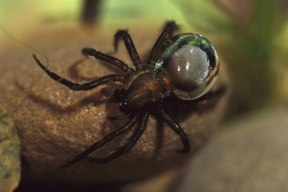 潛水鐘蜘蛛(Argyroneta aquatica)在腹部攜帶的空氣,使牠有了銀白色的外觀。PHOTOGRAPH BY HEIDI AND HANS-JURGEN KOCH, MINDEN PICTURES/NAT GEO IMAGE COLLECTION