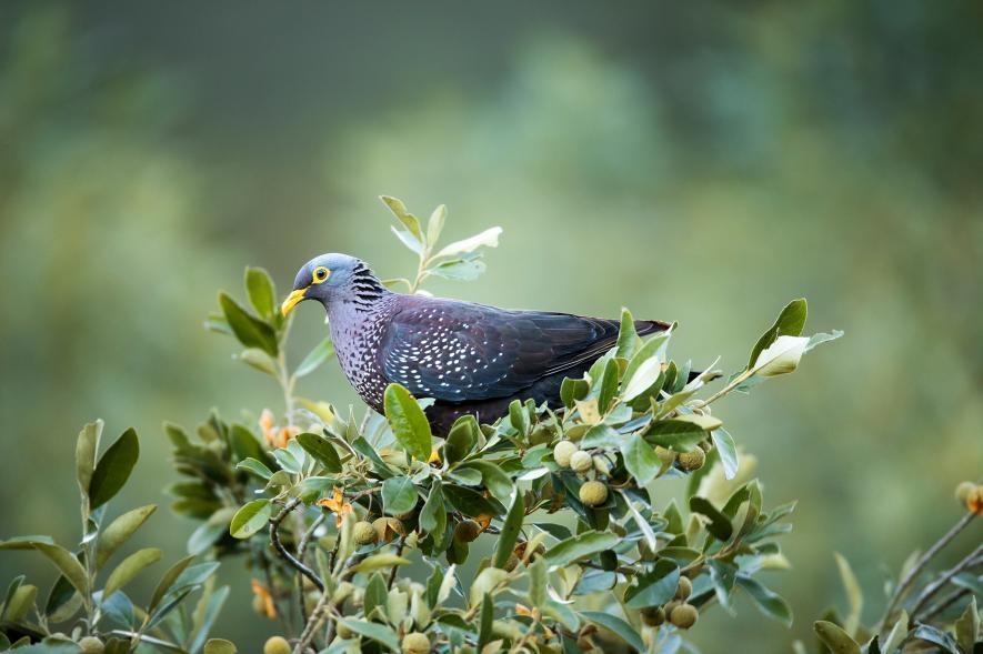 南非蒙塔古山道(Montagu Pass)的黃眼鴿(Columba arquatrix )也曾為這個研究中的物種之一。PHOTOGRAPH BY RICHARD DU TOIT, MINDEN PICTURES