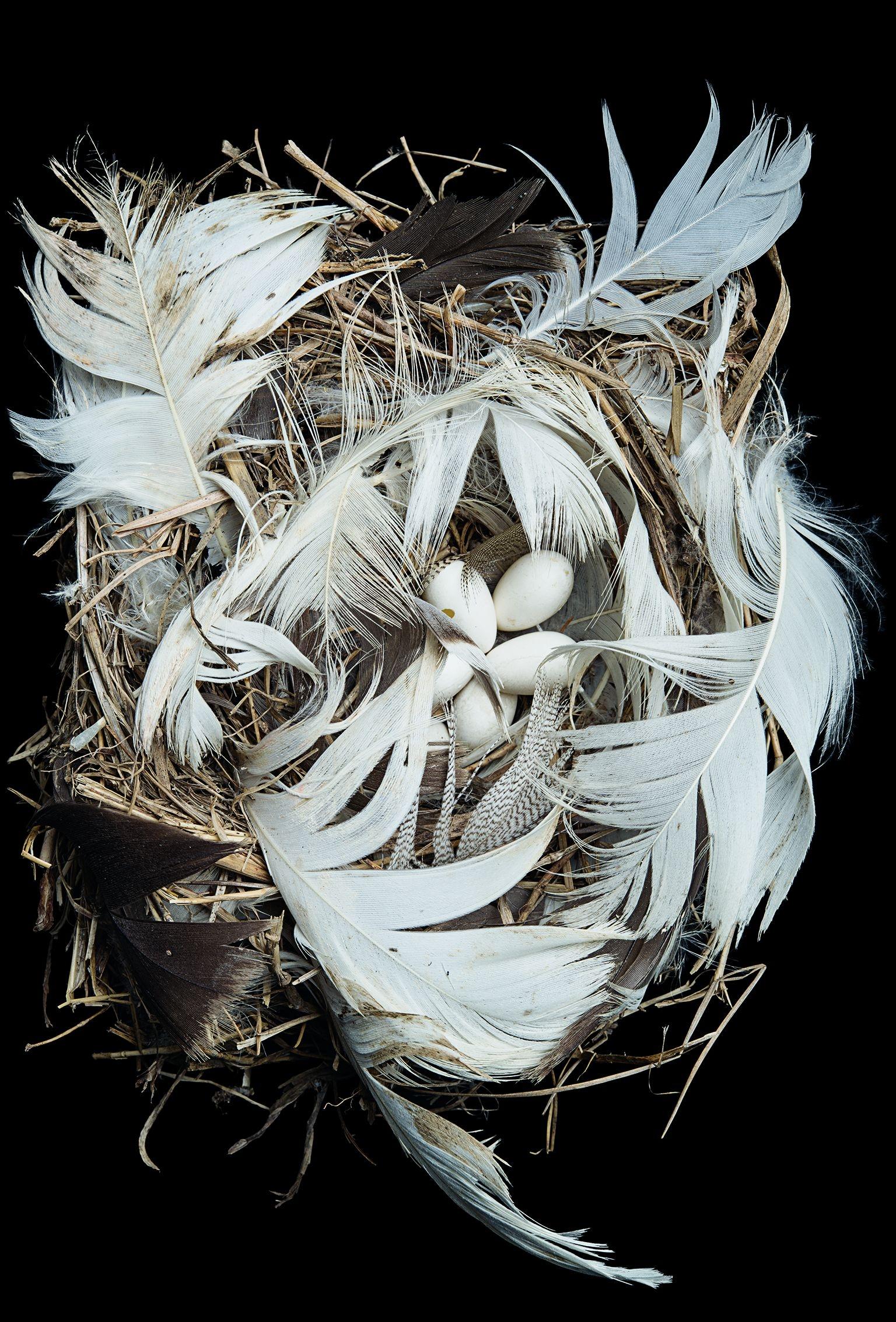 雙色樹燕,康乃爾大學脊椎動物博物館;1995年在華盛頓州塔圖許島採集。PHOTOS: SHARON BEALS. SOURCES: MARK C. MAINWARING, IAN R. HARTLEY,MARCEL M. LAMBRECHTS, D. CHARLES DEEMING