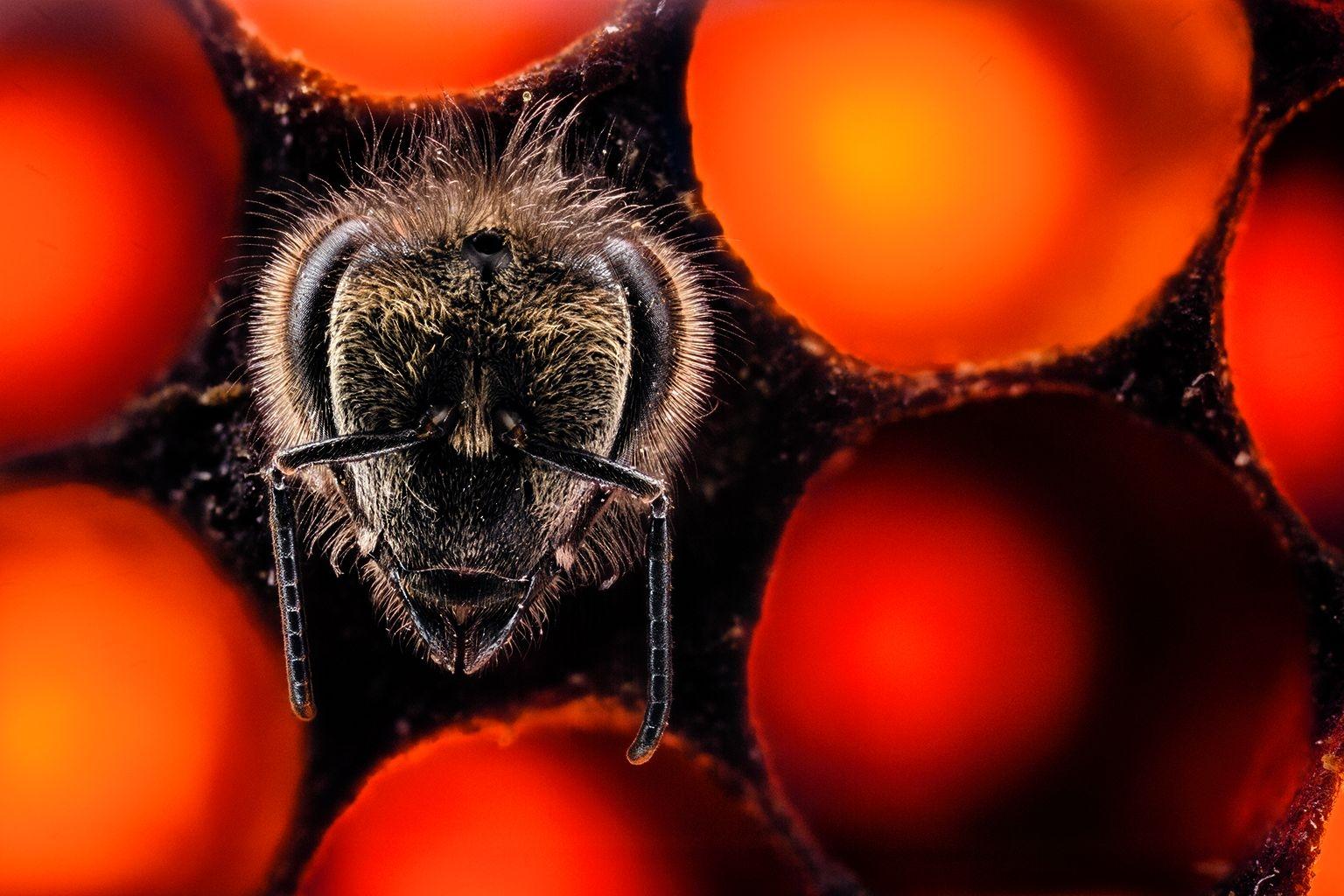 一隻新生蜜蜂爬出孵育蜂卵的巢室。在六週的壽命裡,這隻工蜂將會覓食、製造蜂蜜——並且養育下一代。影像由23張數位合成照片組成SOURCE: BILLY SYNK, HARRY H. LAIDLAW JR. HONEY BEE RESEARCH FACILITY, UC DAVIS