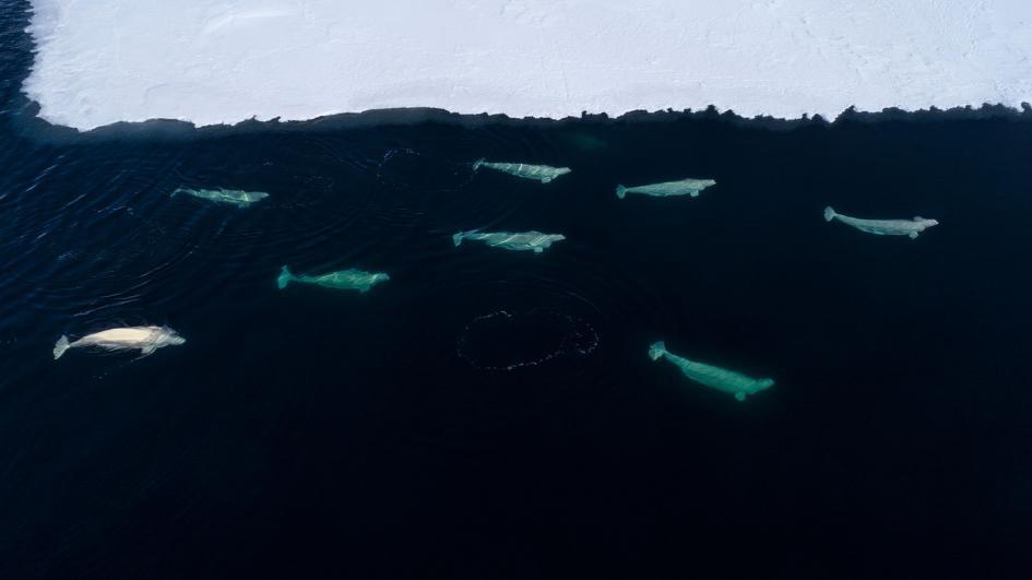 在格陵蘭東部的弗拉姆海峽上,有一群白鯨正在海冰邊緣覓食。今年5月,綠色和平遠征隊隨行的科學家,調查了海冰流失如何影響白鯨與其他鯨魚。PHOTOGRAPH BY CHRISTIAN ÅSLUND, GREENPEACE