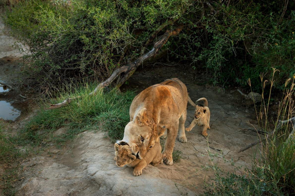 來自塞倫蓋提國家公園巴拉夫獅群的一頭母獅照看著牠的小幼獅。PHOTOGRAPH BY MICHAEL NICHOLS, NAT GEO IMAGE COLLECTION