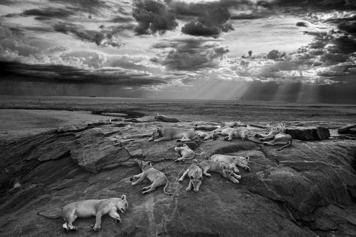 汶比獅群的母獅與幼獅在一座小岩丘上休息,附近有一座牠們喜愛的水坑。PHOTOGRAPH BY MICHAEL NICHOLS, NAT GEO IMAGE COLLECTION