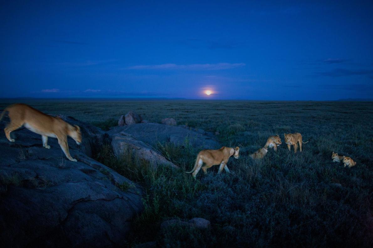 汶比獅群的成員出發進行夜間狩獵。PHOTOGRAPH BY MICHAEL NICHOLS, NAT GEO IMAGE COLLECTION
