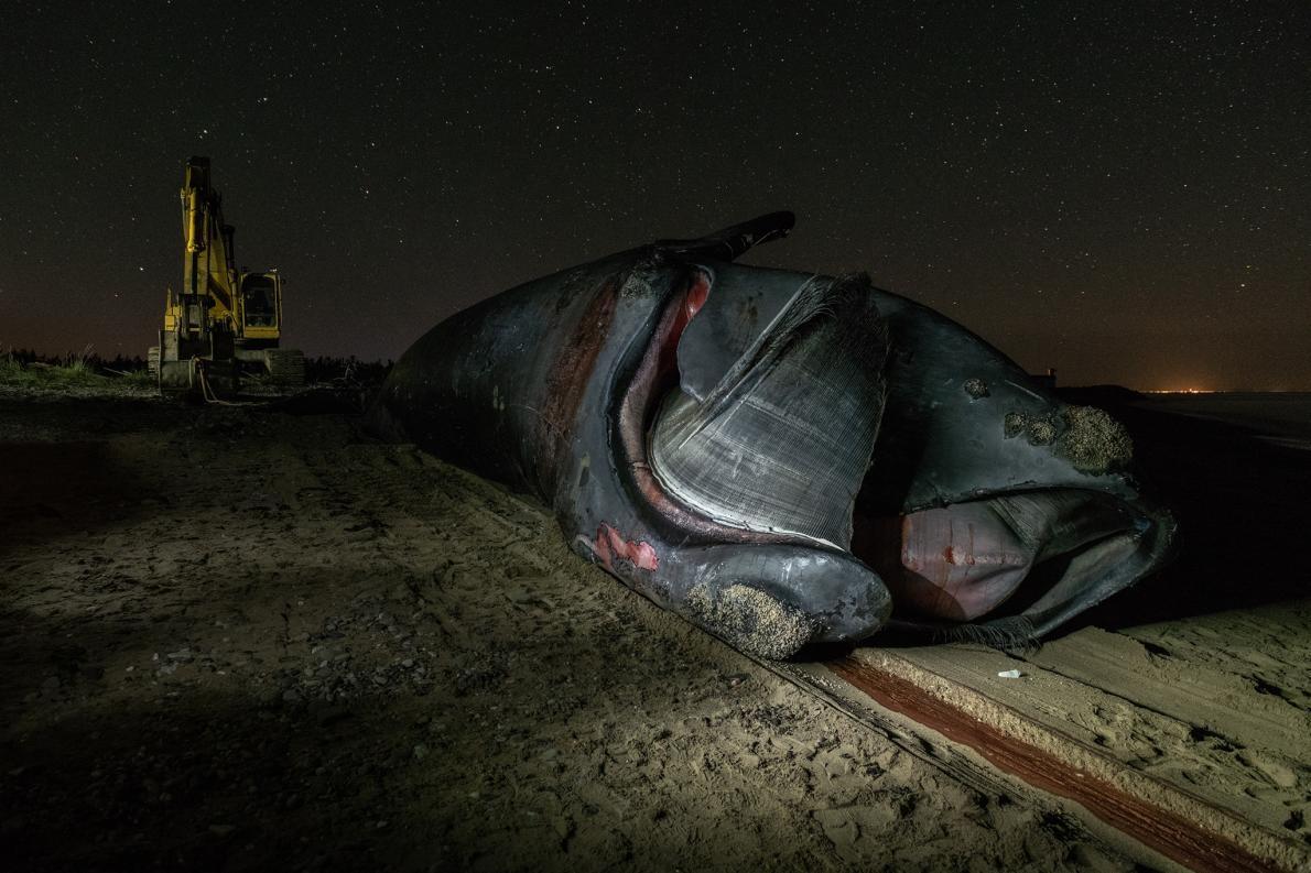 金鋼狼這輩子逃過一次船隻撞擊、三度被漁具纏住,但在6月被人發現身亡。他的死因尚未確認。PHOTOGRAPH BY NICK HAWKINS