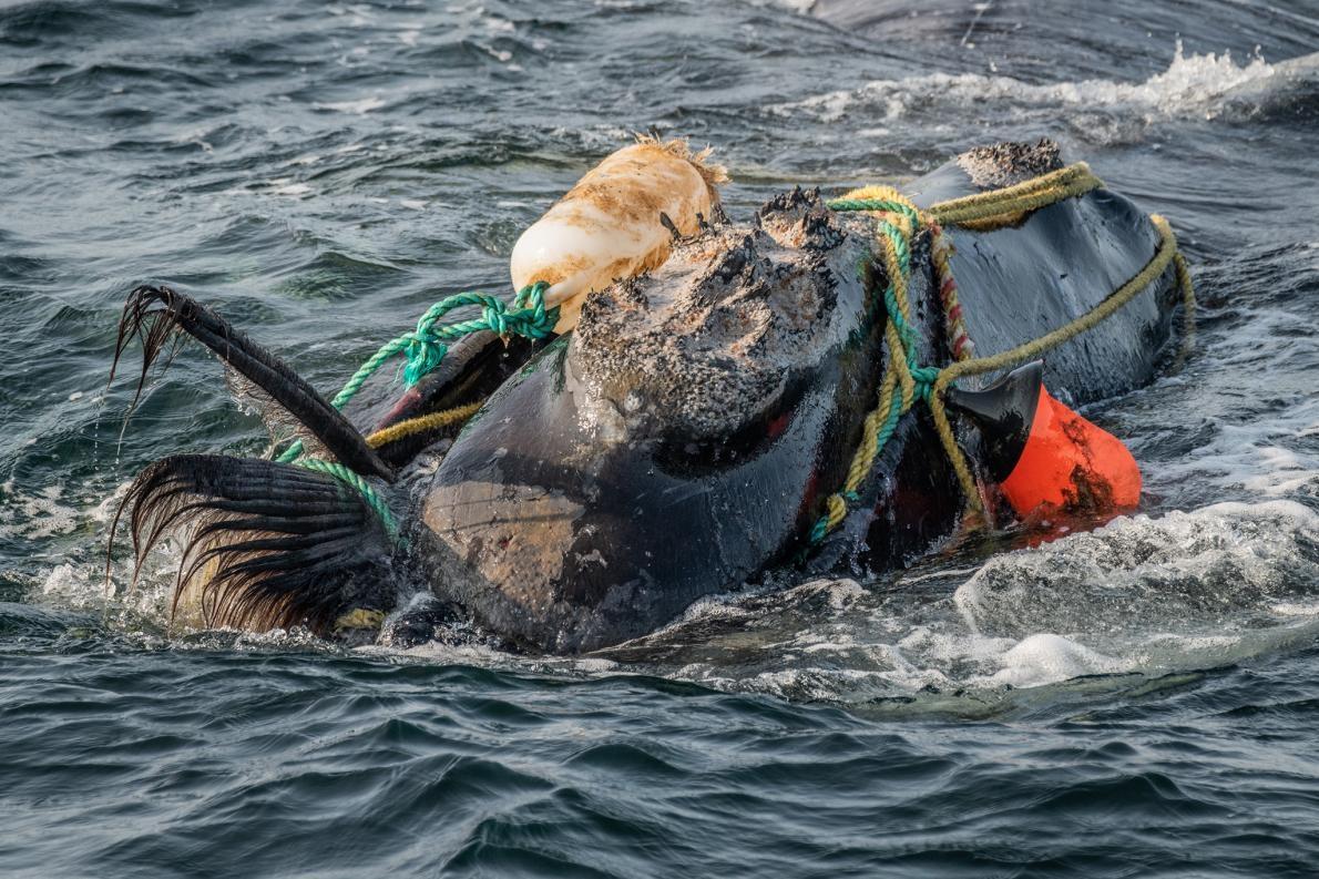 在聖羅倫斯灣,捕魚用的繩索纏住了一頭北大西洋露脊鯨的頭和嘴。被纏住可能導致鯨魚餓死或溺水。有一個救援小組在附近等待預備著,但這頭鯨魚在三個小時之後設法自行脫困了。PHOTOGRAPH BY NICK HAWKINS