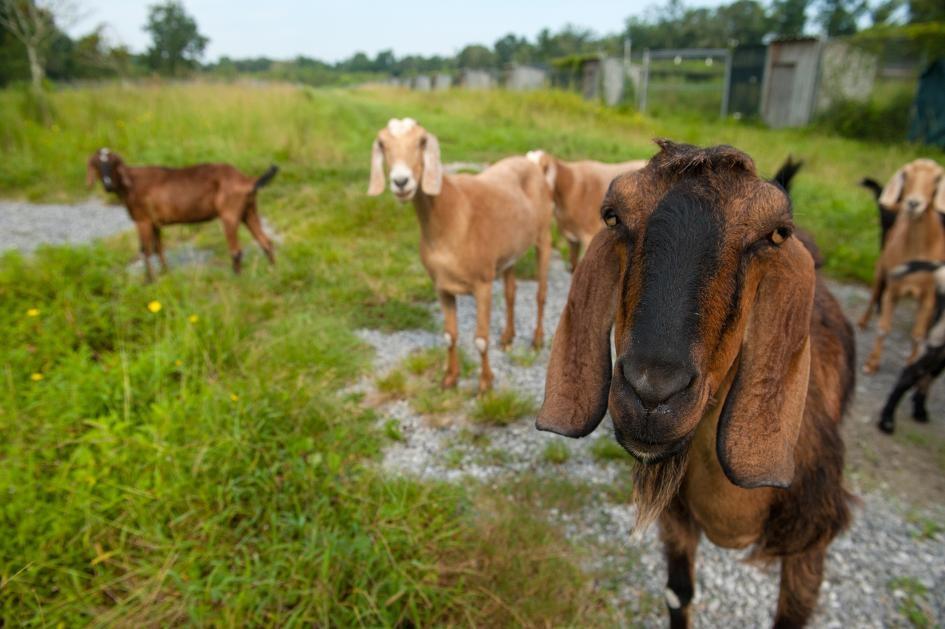 山羊是聰明的社會性動物。新研究顯示,牠們可以從其他山羊的叫聲中,判斷對方是快樂還是沮喪。PHOTOGRAPH BY JOEL SARTORE, NAT GEO IMAGE COLLECTION