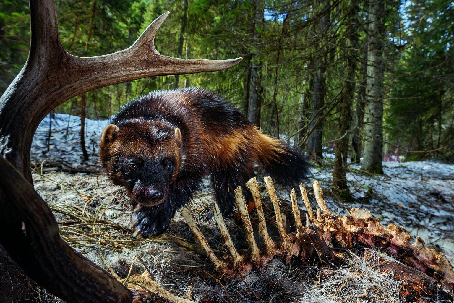 蒙大拿天鵝谷的一隻狼獾,在享用鹿屍時觸發了自動相機,全部感官都處於警戒狀態。這些行蹤隱密的掠食動物生來就是為了在天寒地凍的北地生存。牠們能適應不斷暖化的世界嗎?WITH ASSISTANCE FROM SWAN VALLEY CONNECTIONS