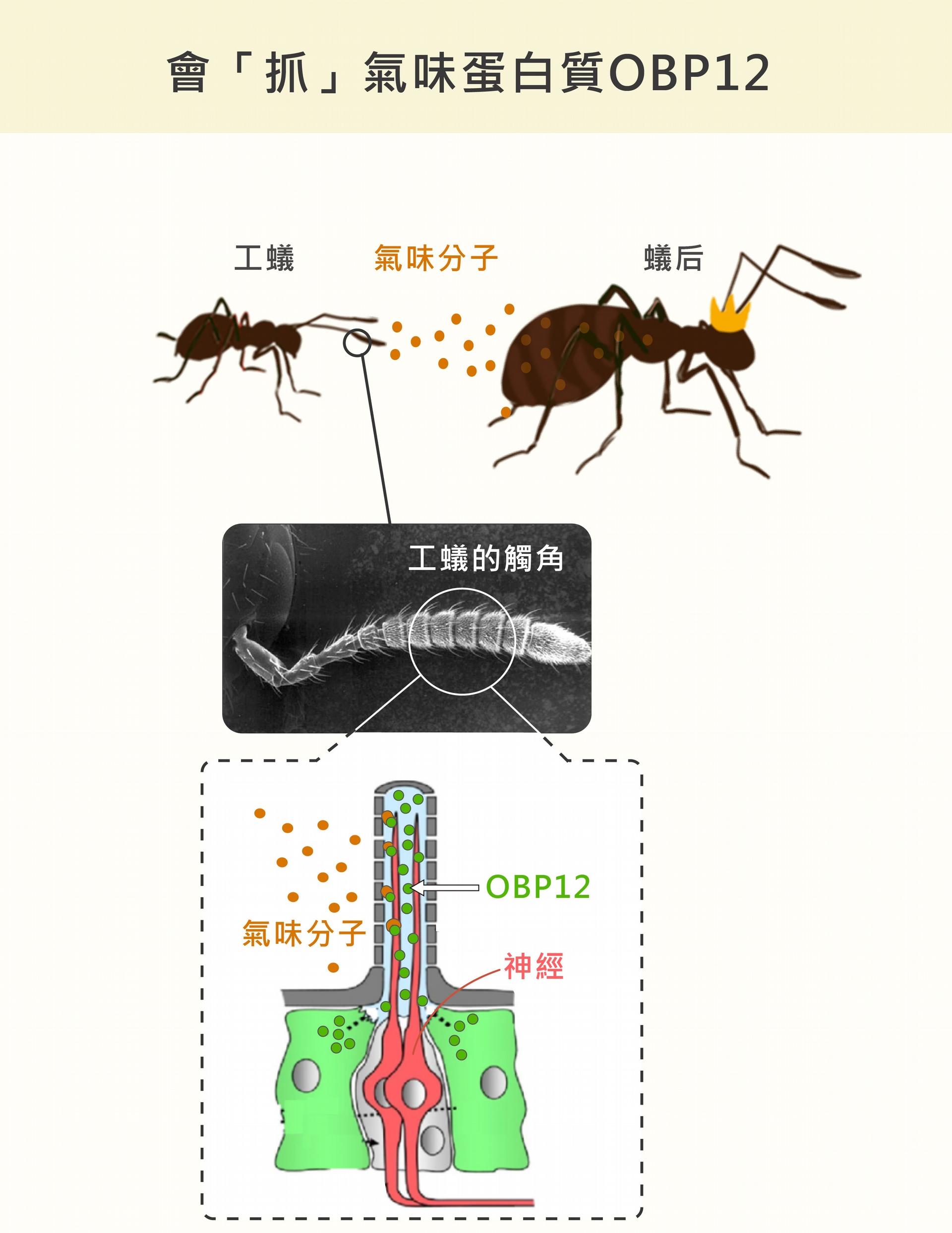 紅火蟻的觸角外面有一層殼,中間的神經表面有受器,可接收外界的氣味分子,形成嗅覺。但是!外殼和神經之間是液體,就像一條河,氣味分子不溶於水,不能自己「渡河」,必須由一種氣味結合蛋白 OBP12 抓住、保護,才能順利「游過」液體、抵達神經的受器。資料來源│王忠信 圖說設計│黃曉君、林洵安