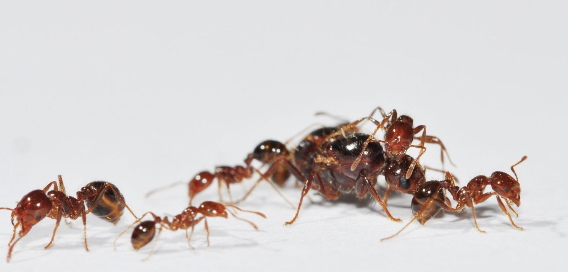 入侵紅火蟻 (以下簡稱紅火蟻) 原產在溫暖、潮溼的南美,1920 年代傳入美國,擴散到全美各地,再透過進出口貨物、盆栽泥土傳播,從美國擴散到澳洲、中國、日本、韓國、臺灣等地。圖片來源│王忠信