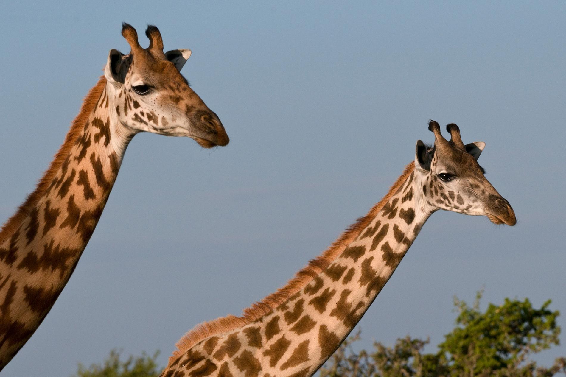 如今野外剩下3萬5000頭馬賽長頸鹿。牠們的數量在過去30年內已減少將近50%。PHOTOGRAPH BY SERGIO PITAMITZ, NAT GEO IMAGE COLLECTION