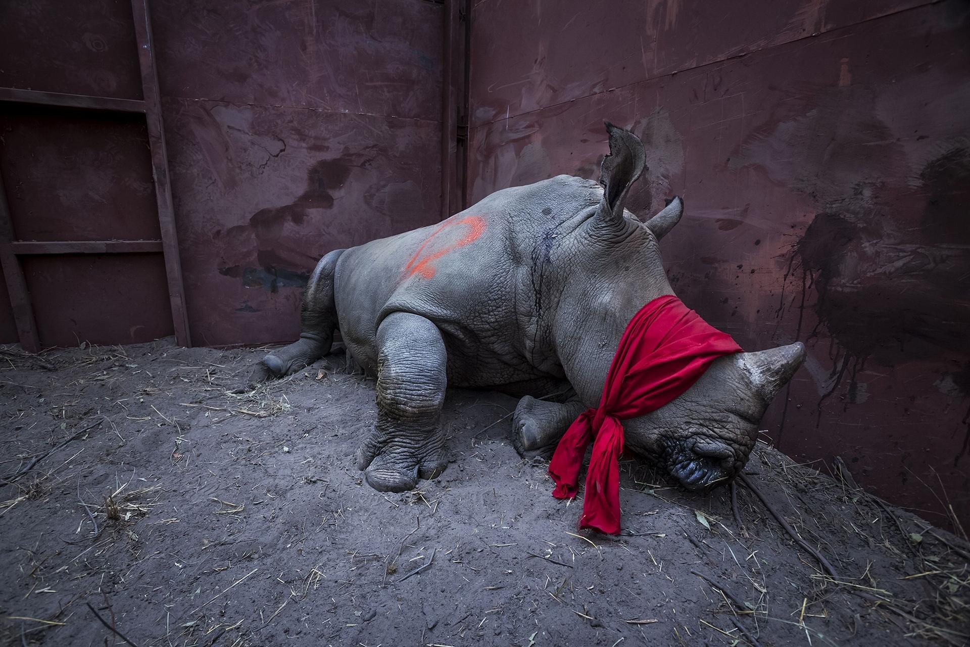這頭蒙上雙眼的年輕白犀牛(white rhinoceros)正要從南非運往波札那的野外。途中,工作人員為牠施打了局部麻醉。波札那正在從鄰國的盜獵熱點拯救犀牛,並設法將牠們轉移,好恢復波札那的犀牛數量。