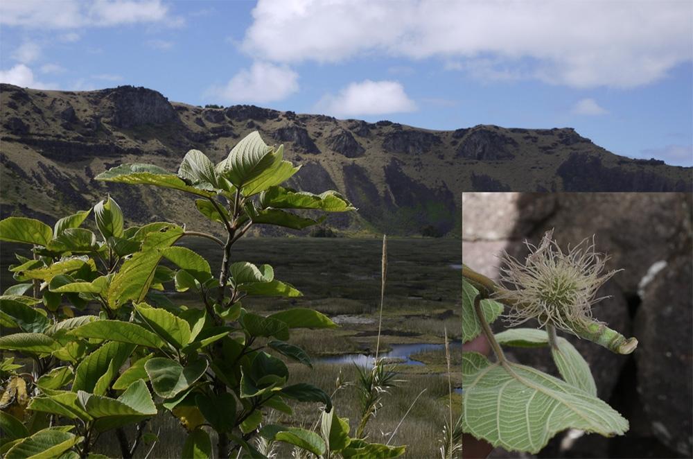 構樹的樣貌。右圖的構樹雌花序是大洋洲居民少見的景象。圖片來源│鍾國芳提供