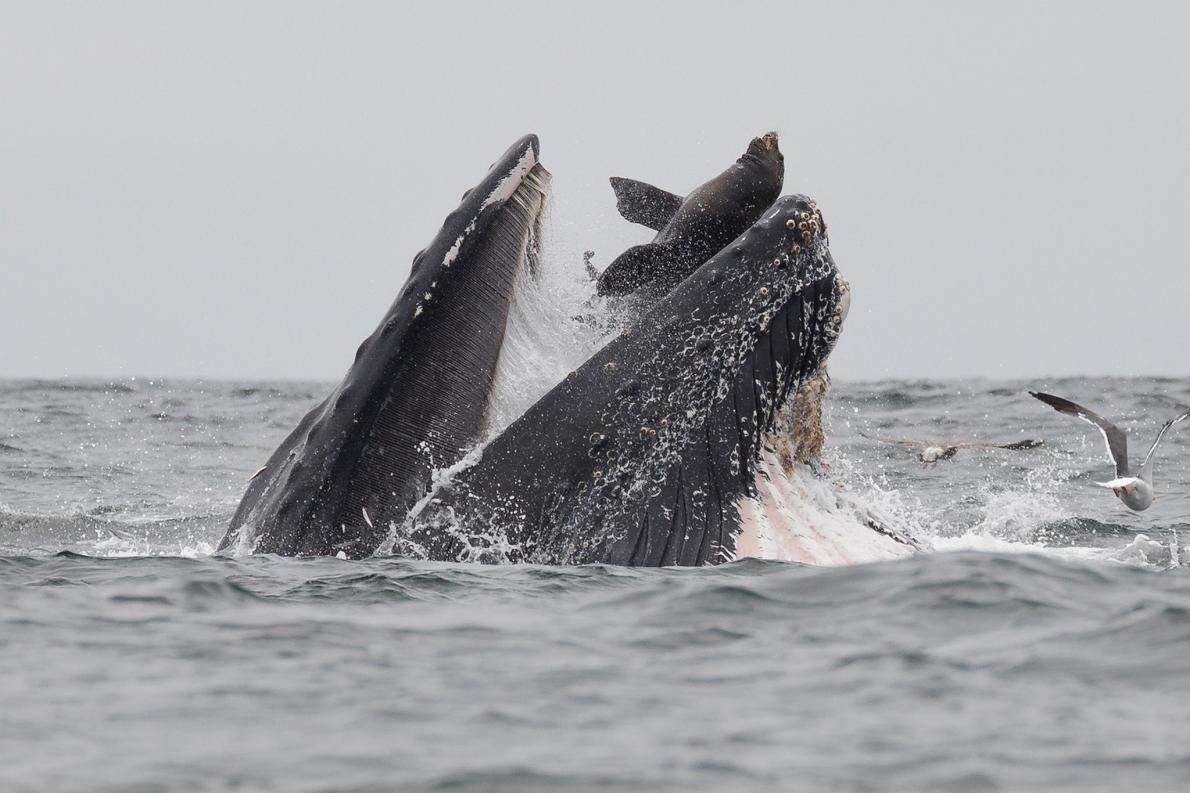一名攝影師在蒙特里灣目擊了一隻座頭鯨在覓食餌球(bait ball)時,意外逮到一隻也在用餐的海獅。HOTOGRAPH BY CHASE DEKKER