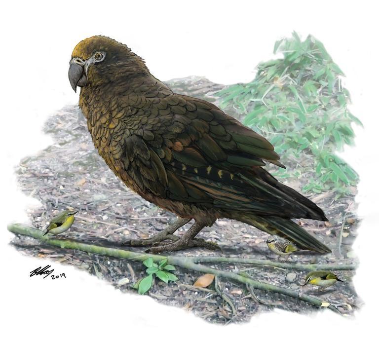 巨型鸚鵡「海克力士鸚鵡」(Heracles inexpectatus)在1600萬至1900萬年前存活於如今的紐西蘭。研究人員估計,這種巨型鸚鵡的體重可能超過7公斤。在這隻鸚鵡腳邊的是稱為「Kuiornis」的小型刺鷯,當時也是紐西蘭的原生鳥類。ILLUSTRATION BY BRIAN CHOO