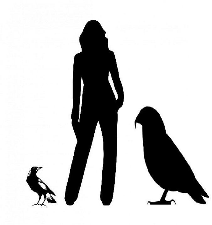 喜鵲、成人與巨型鸚鵡的剪影,顯示體型差異。ILLUSTRATION BY TH WORTHY AND P. SCOFIELD