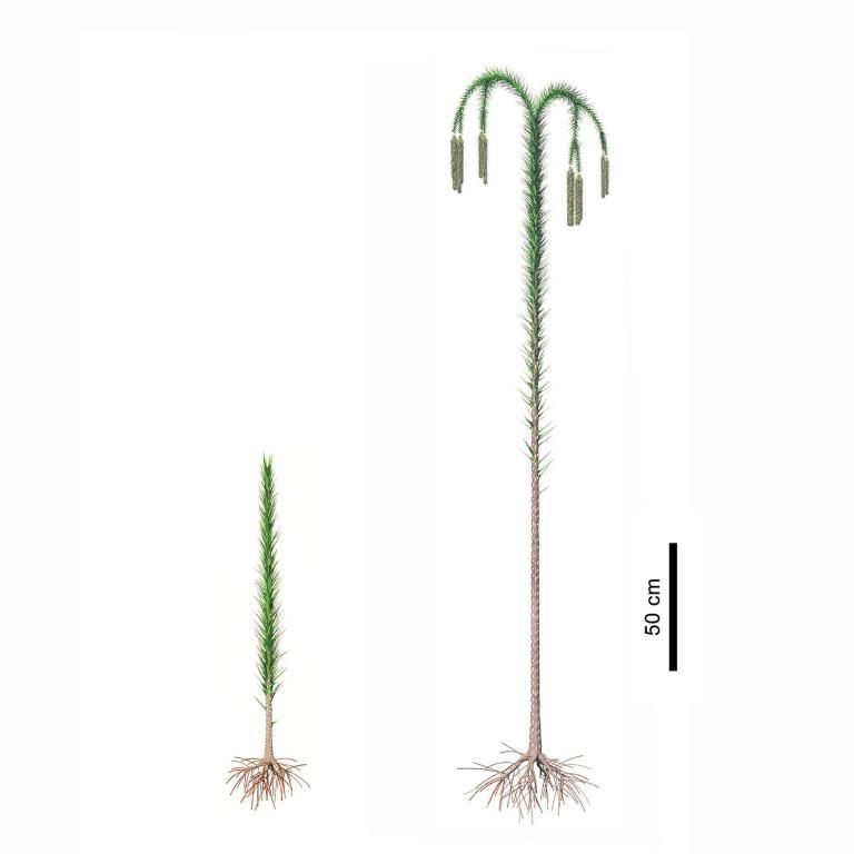 新杭鎮發現的古代森林的特色在於其中的樹,它們像竹竿一樣筆直往上長,莖部綴著狹窄葉片。一旦成熟,樹頂就會分裂成帶有下垂枝條的樹冠,每一枝條都掛著裝滿孢子的圓錐。IMAGE BY DEMING WANG