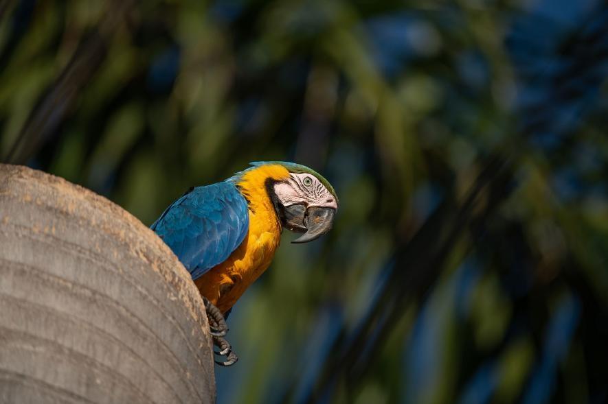一隻雌黃腹藍琉璃金剛鸚鵡停在大坎波(Campo Grande)市內的一棵棕櫚樹幹上,樹幹裡面是兩隻雛鳥的巢。PHOTOGRAPH BY LUIS PALACIOS