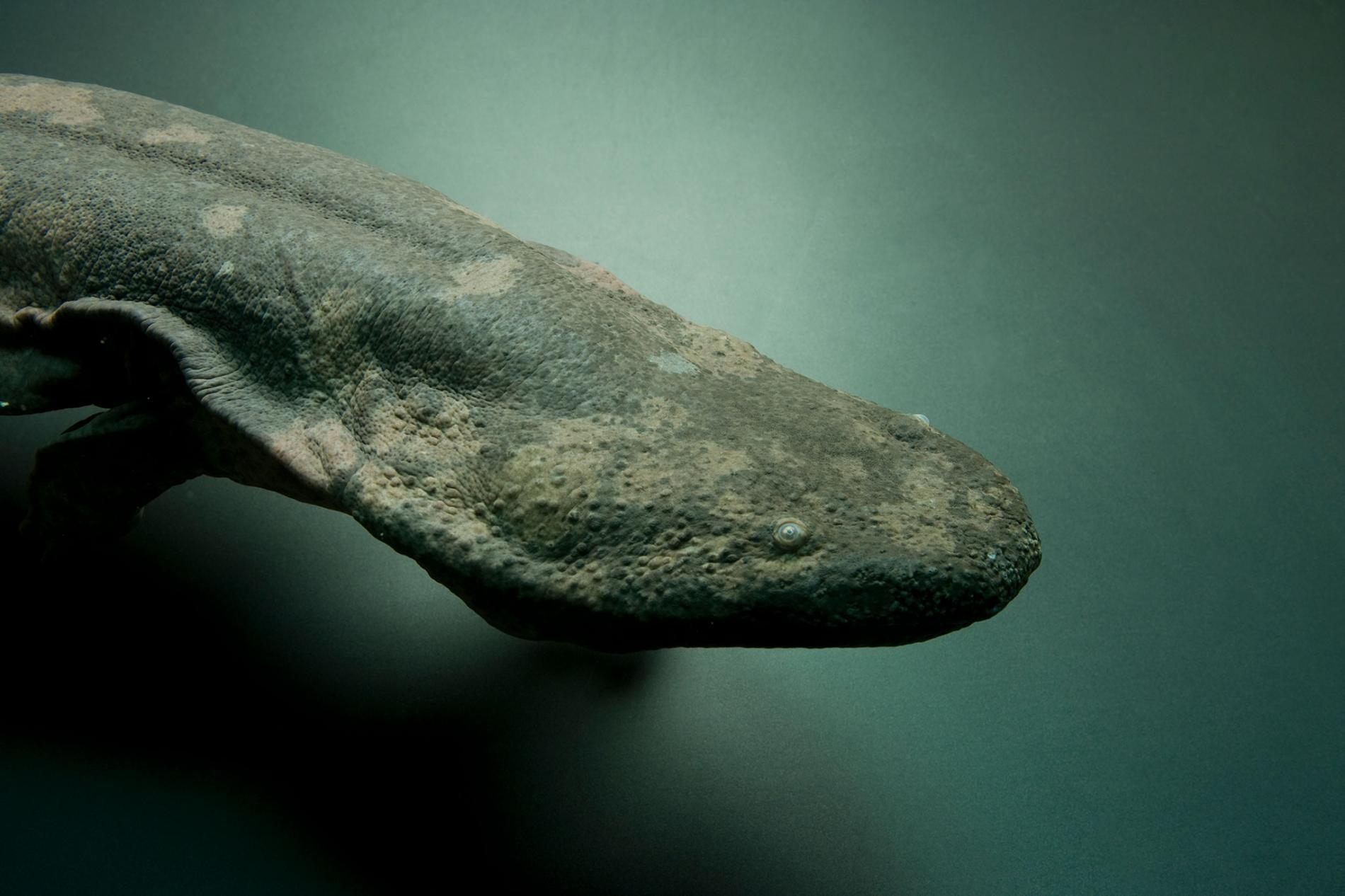 亞特蘭大動物園中極度瀕危的中國大鯢(Andrias davidianus)。新研究顯示,中國大鯢至少分屬三個不同物種。PHOTOGRAPH BY JOEL SARTORE, NATIONAL GEOGRAPHIC PHOTO ARK