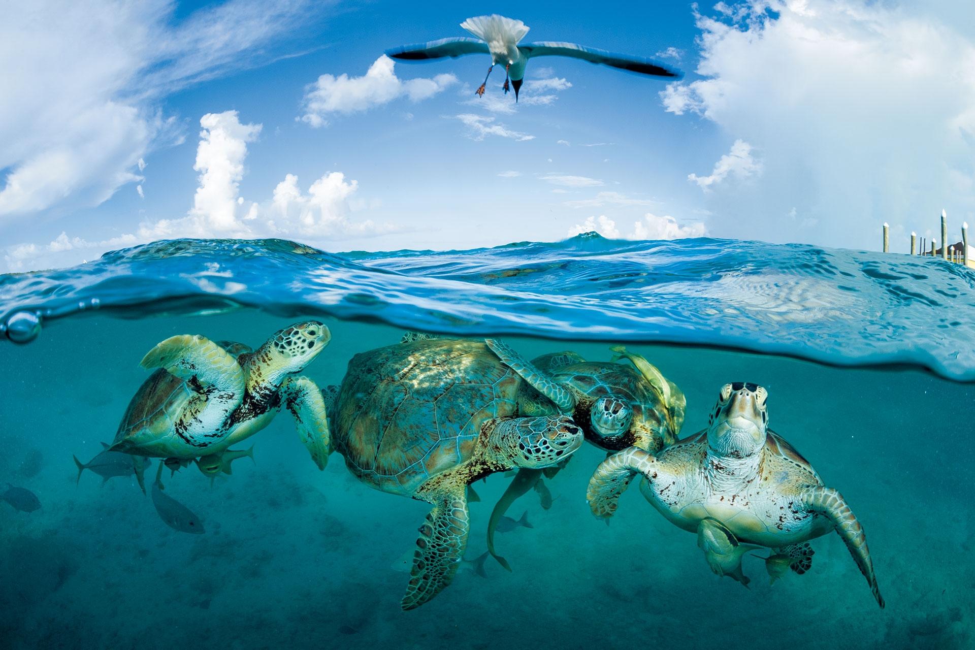 綠蠵龜聚集在巴哈馬的一個碼頭附近。在哥倫布時期,綠蠵龜多到讓人覺得「船隻似乎會在綠蠵龜群身上擱淺。」攝影:湯瑪斯.P.帕斯查克THOMAS P. PESCHAK