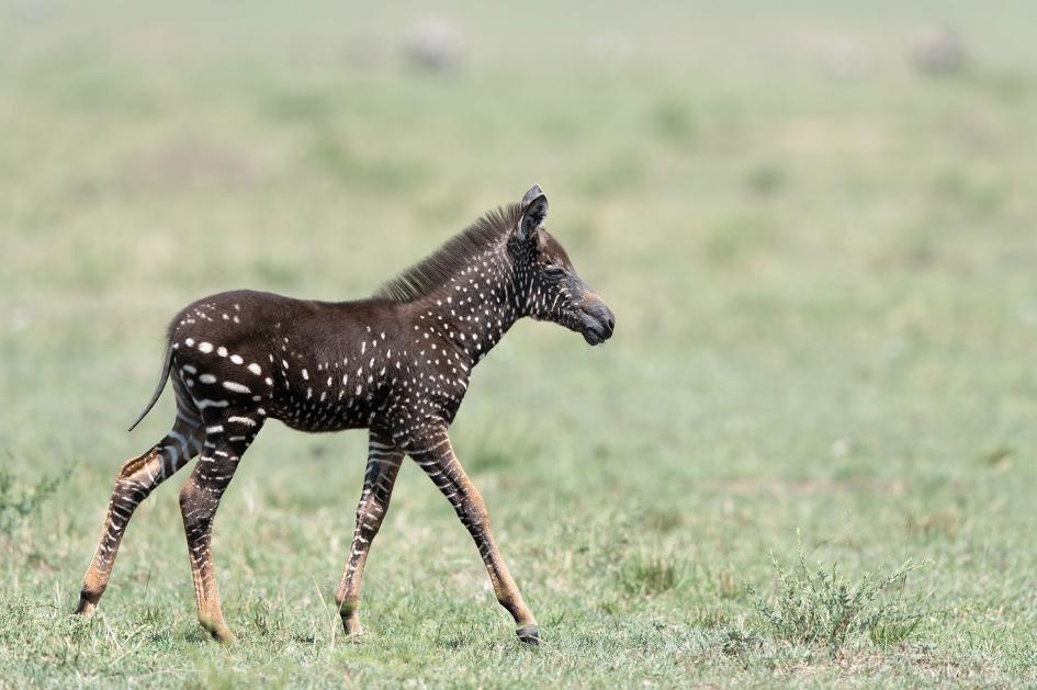 這隻有斑點的斑馬幼駒被取名為「提拉」(Tira),因為沒有典型的斑馬條紋,可能更容易遭到蚊蠅叮咬。PHOTOGRAPH BY FRANK LIU