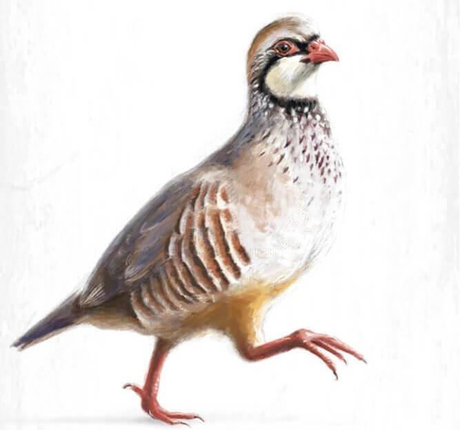 一項最近的研究顯示,紅腳石雞因食用噴了殺蟲劑芬普尼的種子而中毒。