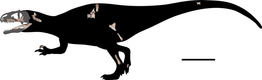 研究人員將22塊新發現的化石按比例縮小以重建蘇瓦提暹羅盜龍的骨骼。右下比例尺等於一公尺。IMAGE COURTESY OF CHOKCHALOEMWONG ET AL., 2019
