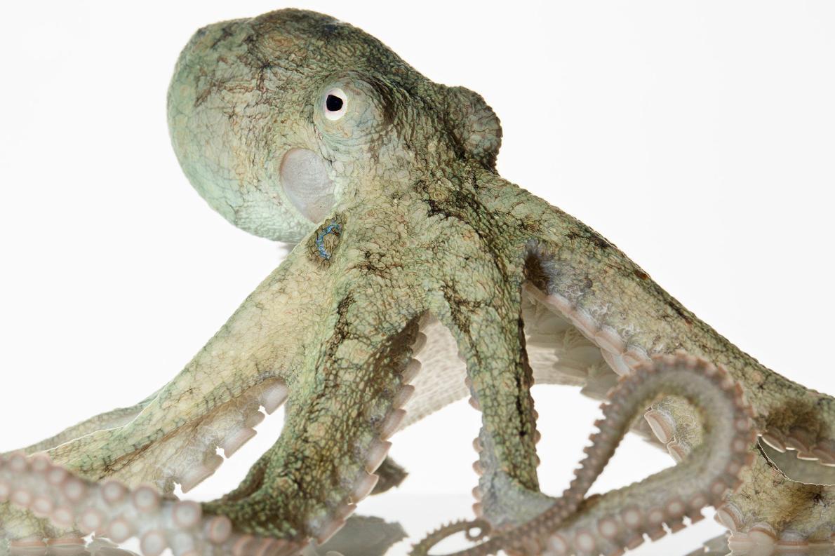 最常見的幾種章魚,壽命一般都不超過兩年。有些章魚在人工環境中適應良好,例如加州雙斑蛸(California two-spot octopus);但那些離群索居、擬態得維妙維肖的章魚則不然。PHOTOGRAPH BY DAVID LIITTSCHWAGER, NAT GEO IMAGE COLLECTION