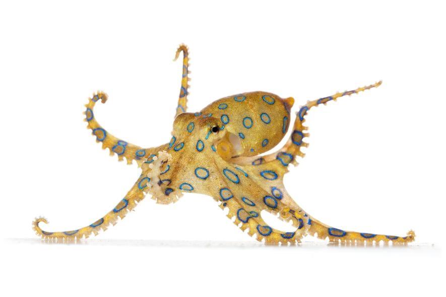 根據寥寥無幾的紀錄,美國進口高度毒性大藍環章魚(greater blue-ringed octopus)的數量,要超過其他所有章魚物種。藍環章魚所帶的神經毒素,足以殺死超過十個人。PHOTOGRAPH BY DAVID LIITTSCHWAGER, NAT GEO IMAGE COLLECTION