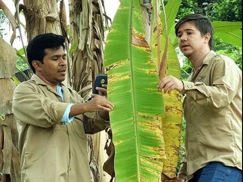 用手機APP對香蕉疾病進行早期檢測 I CIAT