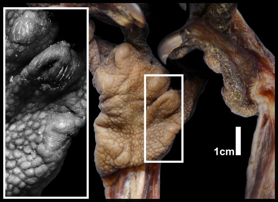 特寫影像顯示指猴偽拇指上的肉墊。IMAGE BY ADAM HARTSTONE-ROSE