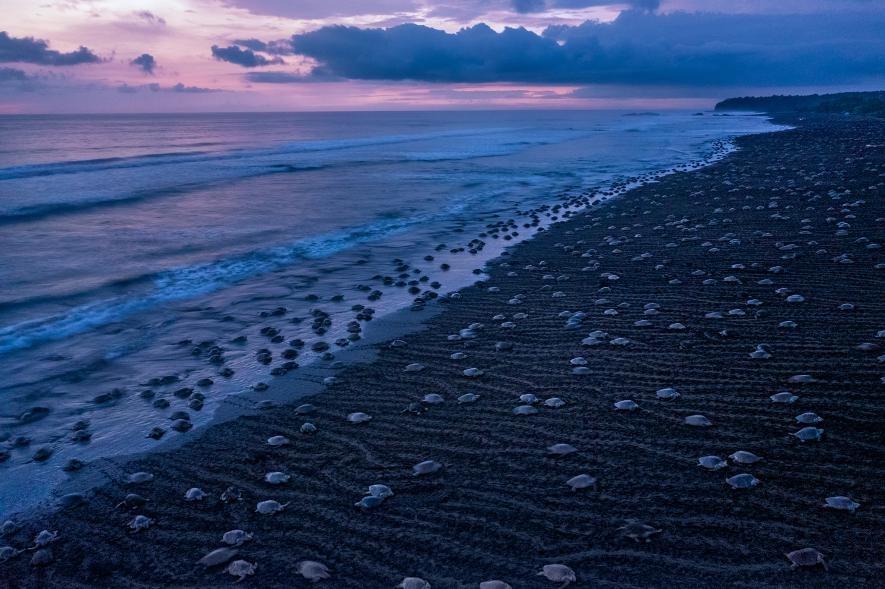 在哥斯大黎加的雨季期間,成千上萬隻雌性欖蠵龜每個月會有一兩次來到岸上產卵,這場集體築巢的活動稱為大量抵達現象。PHOTOGRAPH BY THOMAS P. PESCHAK, NAT GEO IMAGE COLLECTION