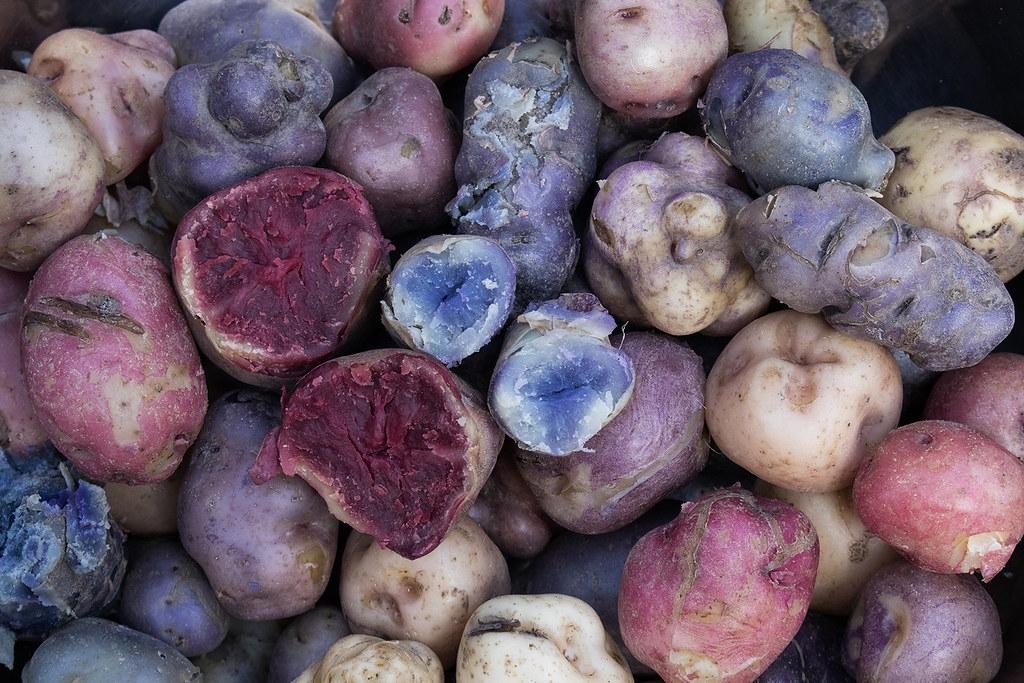 各種顏色和質地的馬鈴薯切面。圖片來源:International Potato Center CIP(CC BY-NC 2.0)