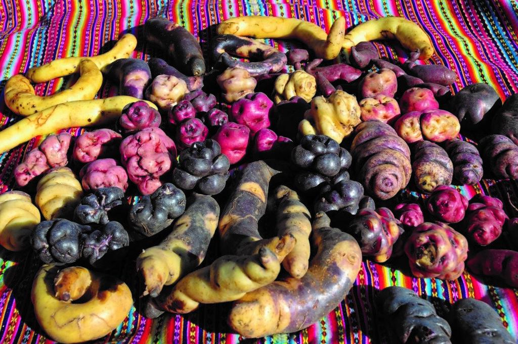 馬鈴薯多樣性有助於因應氣候變遷的挑戰。圖片來源:International Potato Center CIP新聞稿