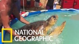 可憐赤蠵龜被人欺負,所幸慈善組織及時救援