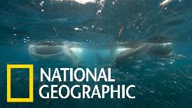非洲馬菲亞島海域的「宅」鯨鯊