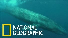 洋流改變,讓藍鯨有愈變愈「大尾」的趨勢?