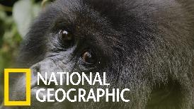 管理員與大猩猩孤兒間的可貴情誼