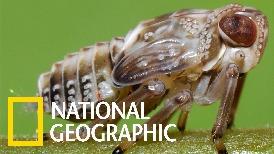 這種彈跳小蟲自帶「生物齒輪」!