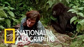 聽戴安.弗西訴說她對山地大猩猩的觀察