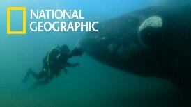 與巨大的南露脊鯨面對面