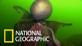 現實中的克蘇魯:北太平洋巨型章魚