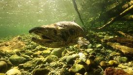 太平洋鮭魚的洄游旅程